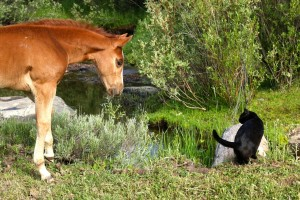 dude ranch foal and cat