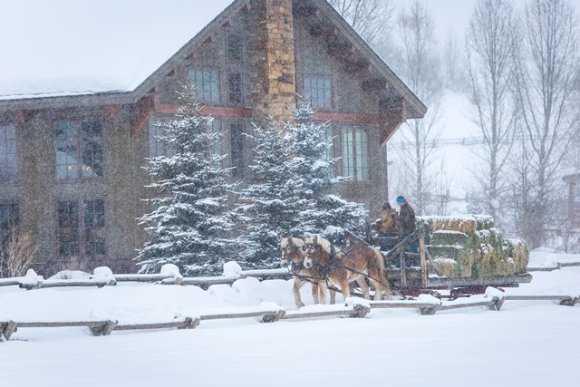 feeding the herd at a winter resort in Colorado