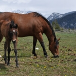dude ranch foal