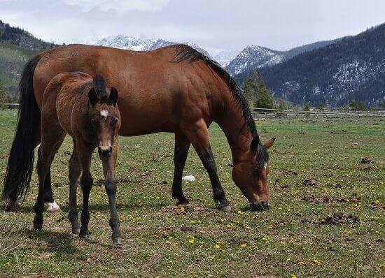dude ranch foal
