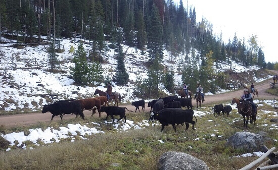 cattle round up at Colorado dude ranch